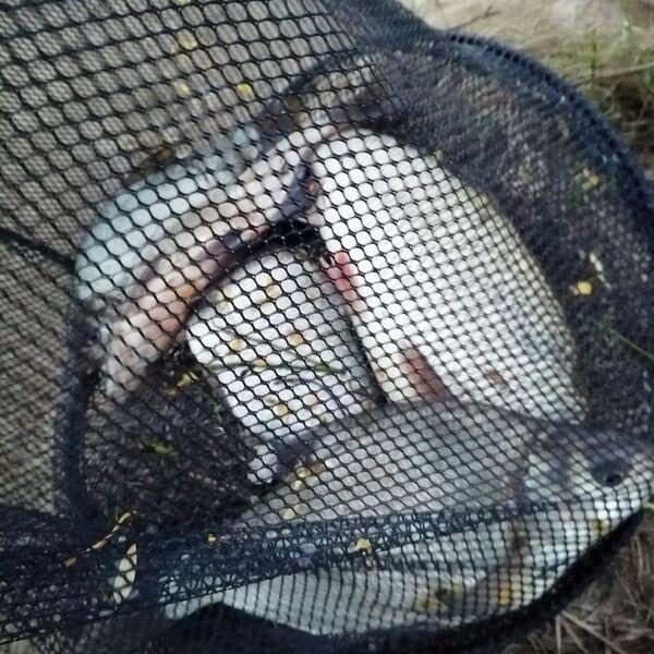 Крупный улов леща