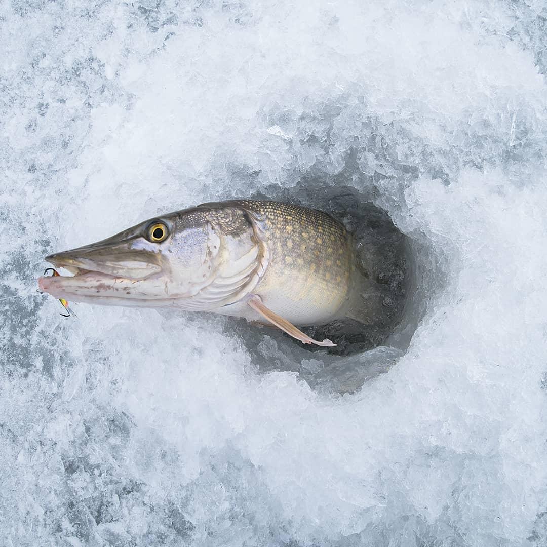 Ловля щуки на балансир зимой - выбор места и времени рыбалки, техника проводки
